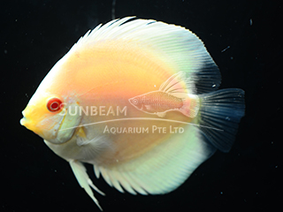 BLUE DIAMOND ALBINO DISCUS
