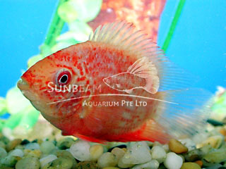 Severum Red Spotted Cichlid