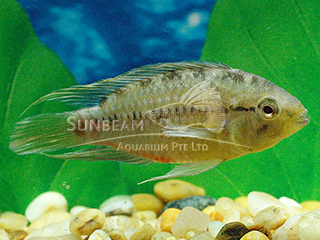 Red Bellied Dwarf Cichlid PAir