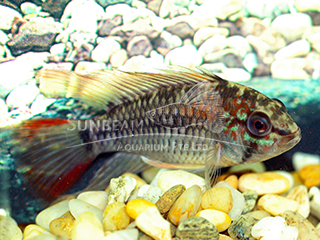 Red Tail Dwarf Cichlid Pair