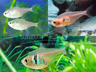 ASSORTED PHANTOM TETRA