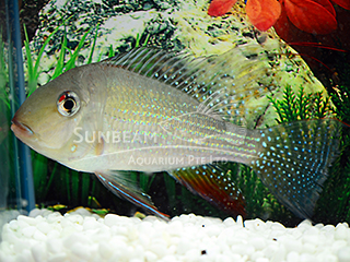 Thread finned Acara Cichlid