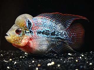 Super Red Dragon Flower Horn Cichlid