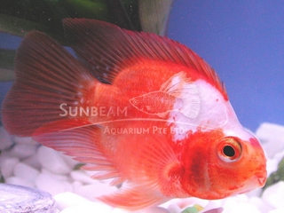 Parrot red & white Cichlid