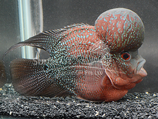Super Monkey Kamfa Flower Horn Cichlid
