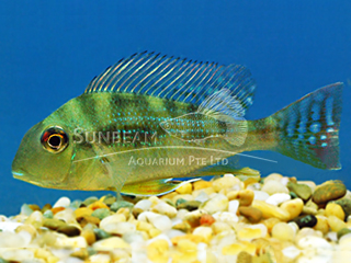Surinam Geophagus