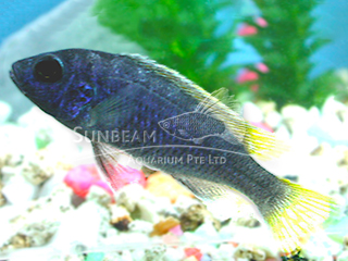 Yellow Tailed Violet Cichlid