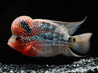 Red 1.8K flower horn cichlid