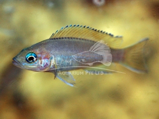 Yellow FIn Fairy Cichlid