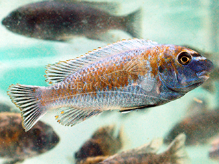 Trewavasae Red Top Cichlid