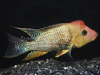 Eartheater bahia red cichlid