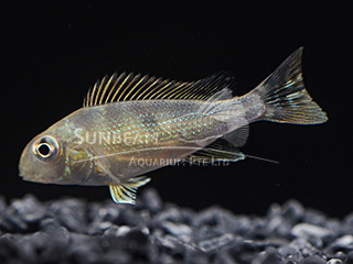 eartheater Splitbelt Cichlid