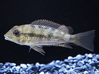 eartheater Yellowhump cichlid