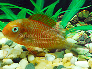 Tropheus Fire Cracker Golden Cichlid