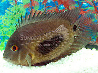 Triangle Cichlid