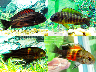 Tropheus Assorted Cichlid