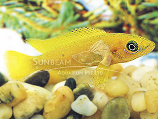 Yellow Lamporogus Cichlid