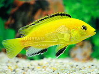 Yellow Black Back Cichlid