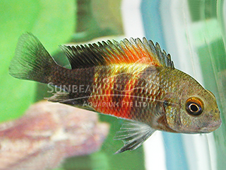 Red Banded Tropheus