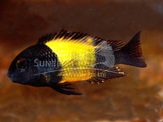 Yellow Banded Tropheus
