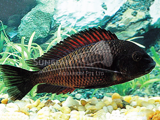 Tropheus Fire Cracker Cichlid