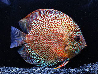 Red Spotted Green DISCUS