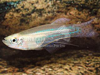 Bluegreen Lampeye Killiefish (Male)