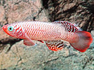 Orange Fin Notho Killiefish (Male)