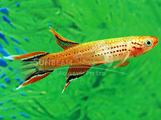 Gold Lyretail Panchax Killiefish (Male)