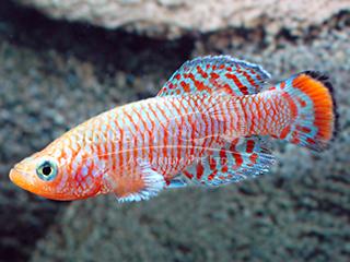 Bluefin Rainbow Notho Killiefish (Male)