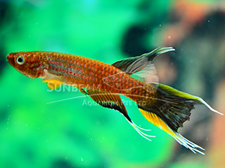 Chocolate Lyretail Panchax Killiefish (Male)