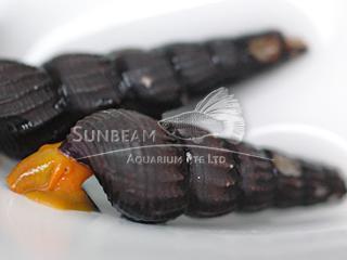 Bright Orange Sulawesi Snail