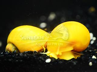Apple snail- Golden