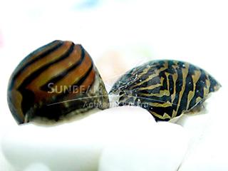 Zebra Dwarf Snail