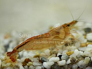 algae shrimp