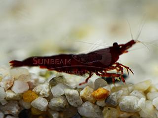blood mary shrimp