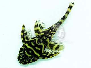 L168 Tiger Butterfly pleco