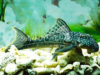 L106 Orange Seam Pleco Catfish
