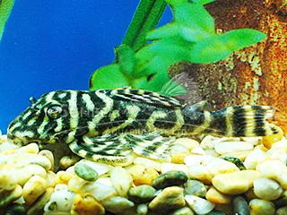 L129 Zebra Pleco