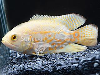 albino oscar
