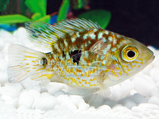 Texas Balloon Cichlid
