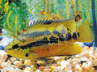 Yellow Belly Cichlid