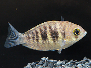 Chromide Green Cichlid