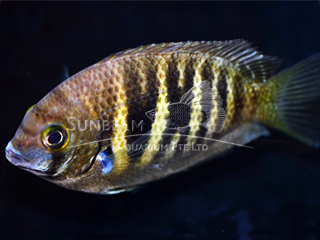 Pearly spot chromide Cichlid