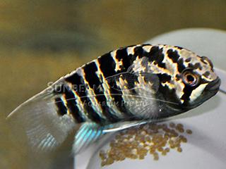 Zebra Acara