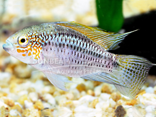 Strawberry Apistro Cichlid PAir