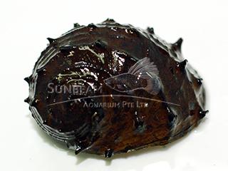 Sea Mine Snail