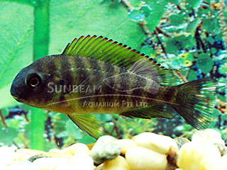 Tropheus Blue Eye Tiger Cichlid