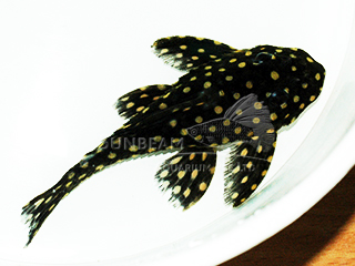 L201 White Spotted pleco
