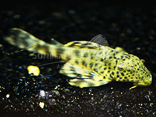 L205 Crown Pleco